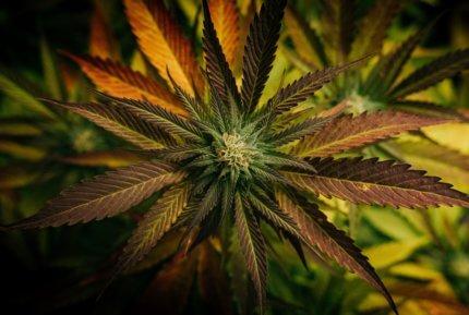 Comment fumer la fleur de cbd